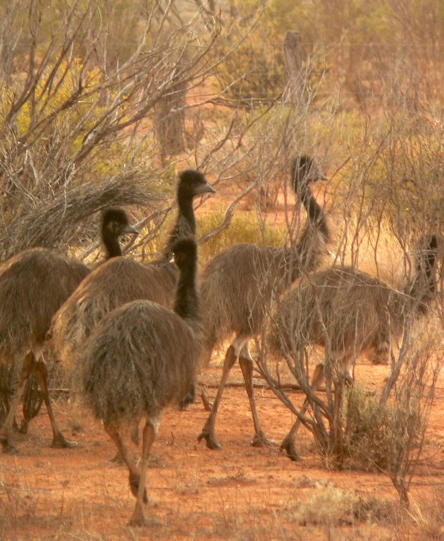 emu in outback